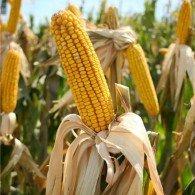 Corn1-195x195