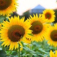 sunflower-meal2-195x195