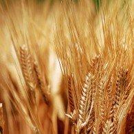 wheat2-195x195